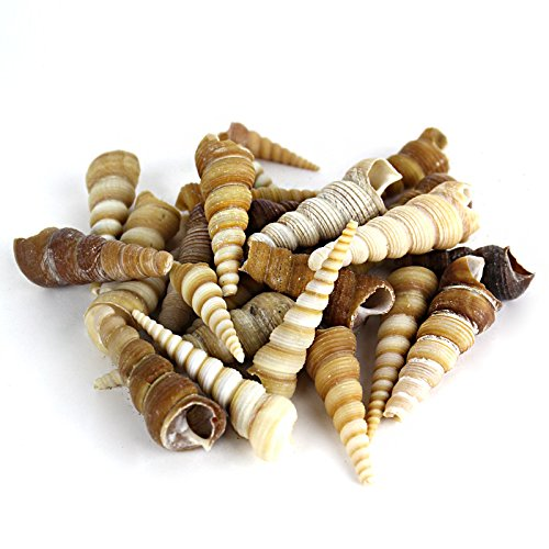 "Vase filler. Terebra Turitella/Cone Shell. D: 2""- 4"" (Brown/Cream/Tan)"