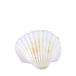 "Vase filler. Arca Ovalis/White Cup Clam Shell. D: 1""- 2"" (White)"